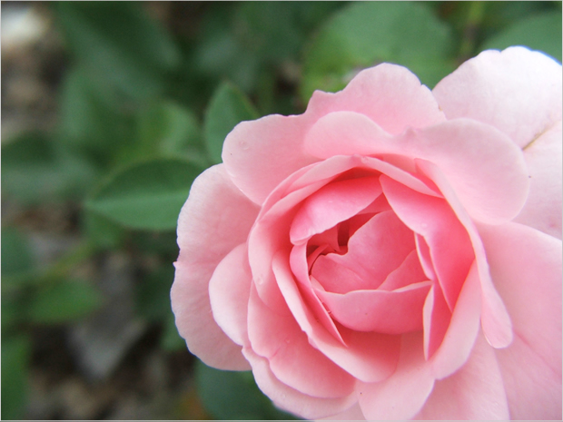 20110907_pinkRose