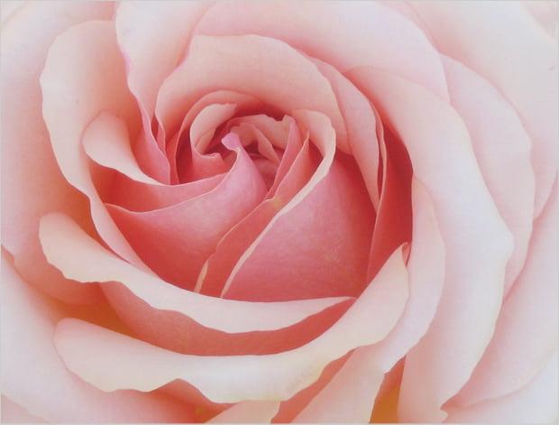 20110920_rose