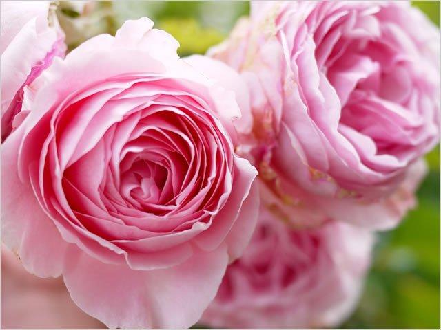 20111005_rose_pink