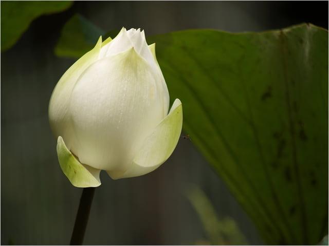 20111122_night_lotus