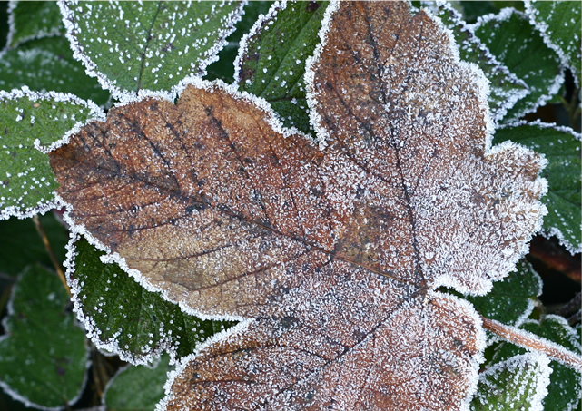 20111209_frosty leaves